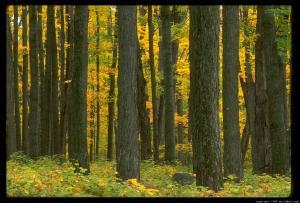 maple-trees-12.4